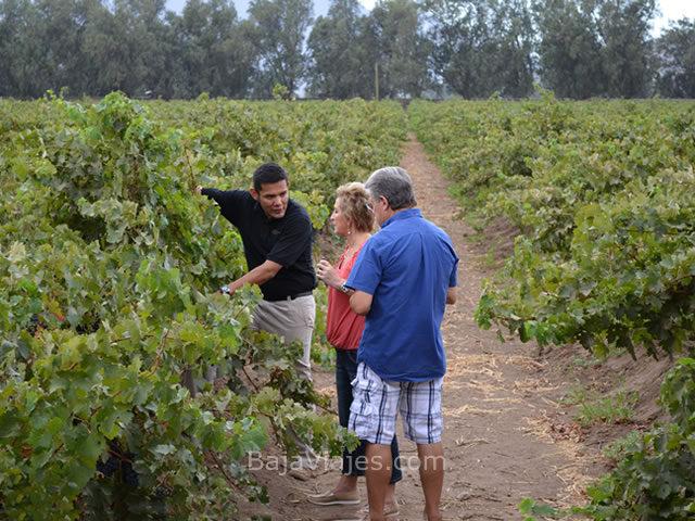 Recorrido entre viñedos en el Valle de Santo Tomás, la Antigua Ruta del Vino.