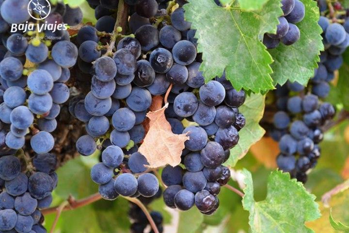 Racimos de uva en los viñedos, durante el tour a la Ruta del Vino, Baja California.