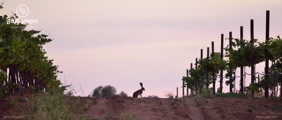 Liebre en el Rancho Maria Teresa