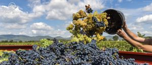 Temporada de Vendimia en la Ruta del Vino, Baja California