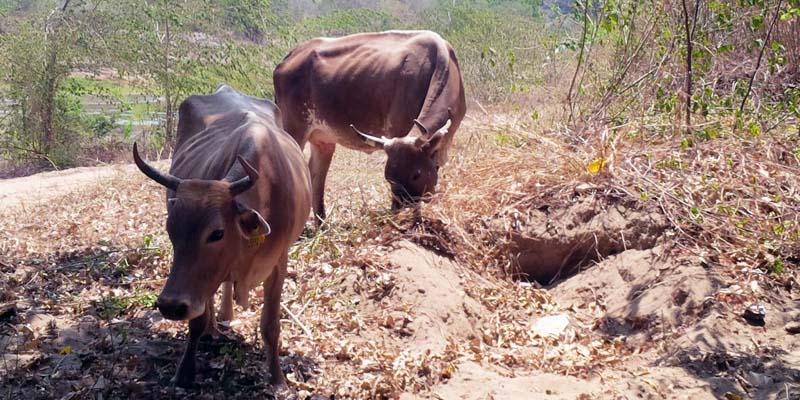 Piden endurecer castigo al robo de ganado en México