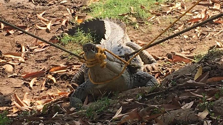 Cocodrilo capturado en Coyuca