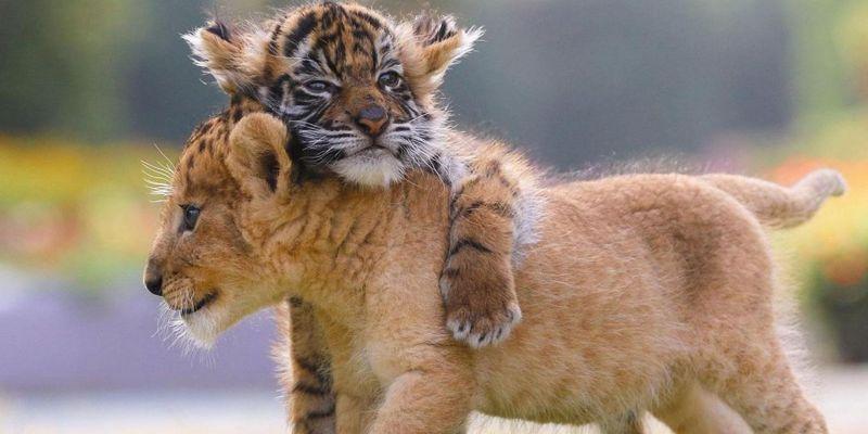 Cachorros de tigre y león en zoo japonés conquistan Internet