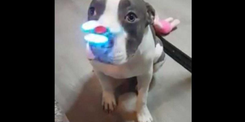 Pitbull que juega con un fidget spinner se viraliza 1