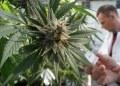 legalizan marihuana