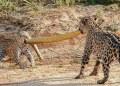 Madre jaguar y su joven cachorro pelean por anaconda 6