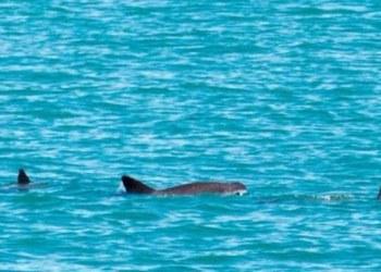 Vaquita marina tiene esperanza de supervivencia; hallan a madre y cría 1