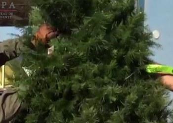 Profepa regresa casi 4 mil árboles de navidad de EU con plaga| VIDEO 1