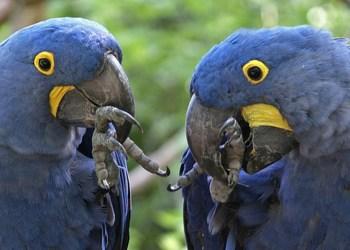 Guacamayo azul y otras 8 aves en peligro de extinción 1