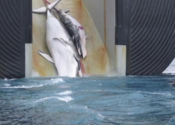 Abandona Japón comisión que protege ballenas; reanudará caza comercial 7
