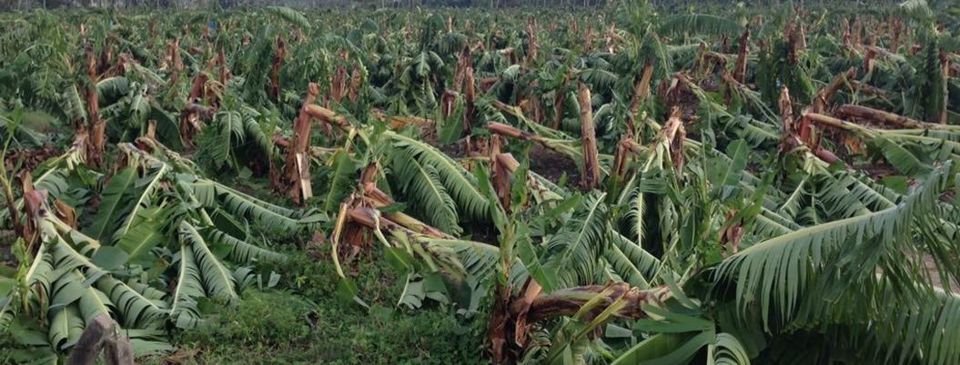 Sader alerta sobre entrada de plaga que ataca al plátano en México