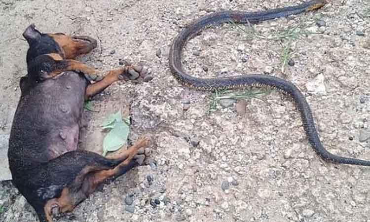perritas lomitos combaten muerte ciega cobra vibora serpiente filipinas