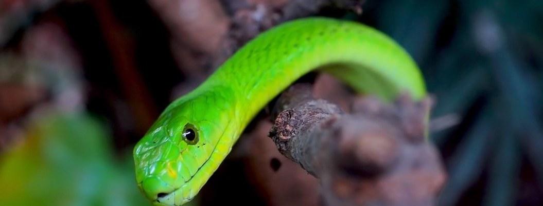 Mujer se despierta en hotel de Tennessee con una serpiente en su cuerpo