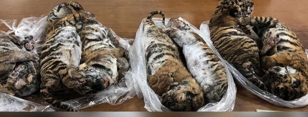 Atrapan a hombre que llevaba 7 tigres bebés cogelados en auto