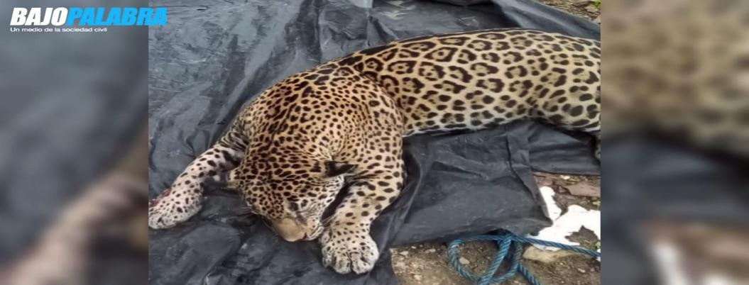 Sacrifican a jaguar en Tecpan de Galeana, acusan pobladores