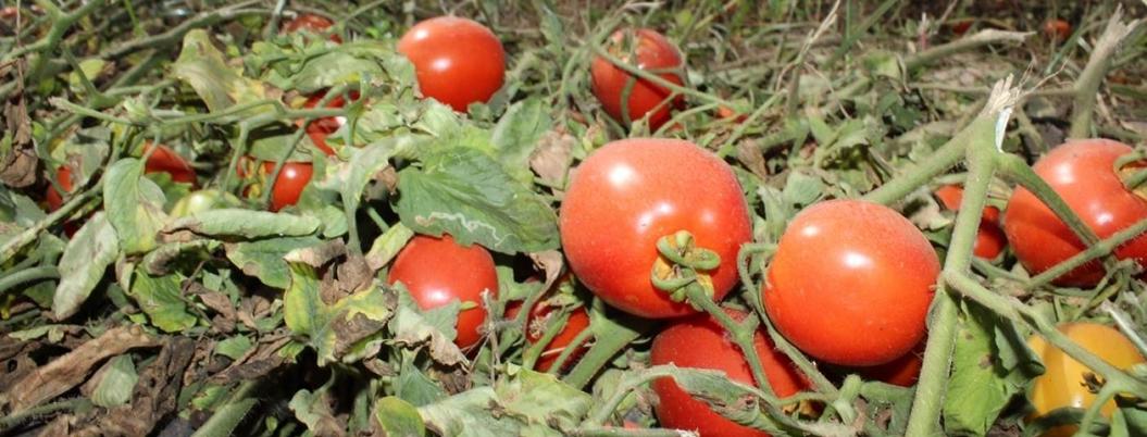 EU se pone autoritario con los tomateros mexicanos, denuncian