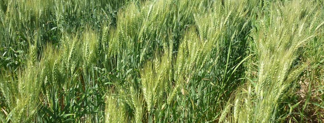 """""""Cosecha de trigo aumentará 15.6 %"""", señala la Sader"""