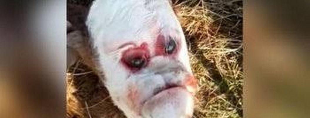 Ternero nace con extraño rostro humano debido a mutación