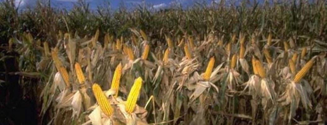 Agricultores mexicanos están cosechando maíz contaminado