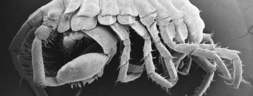 Hallan nueva especie de crustáceos en la boca de un tiburón ballena