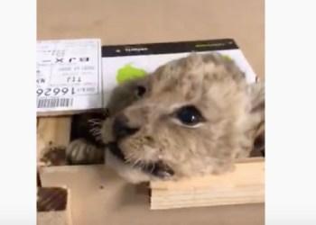Envían por paquetería a cachorro de león africano; GN lo rescata 1