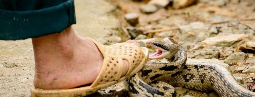A diario, 384 muertes en el mundo por mordedura de serpiente