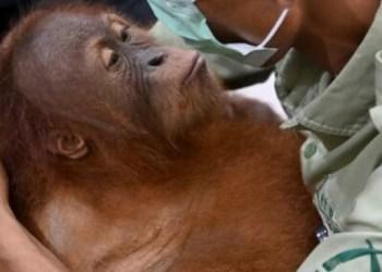Aseguran a bebé orangután oculto en maleta; ruso buscaba traficarlo 5