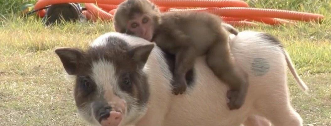 Nacen primeros híbridos de cerdo y mono; así lucen