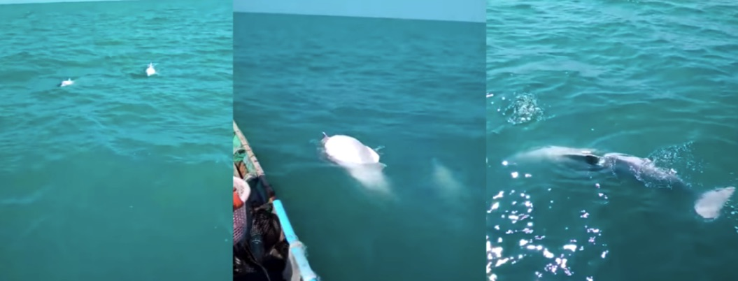 Pescadores se topan con grupo de delfines albinos | VIDEO