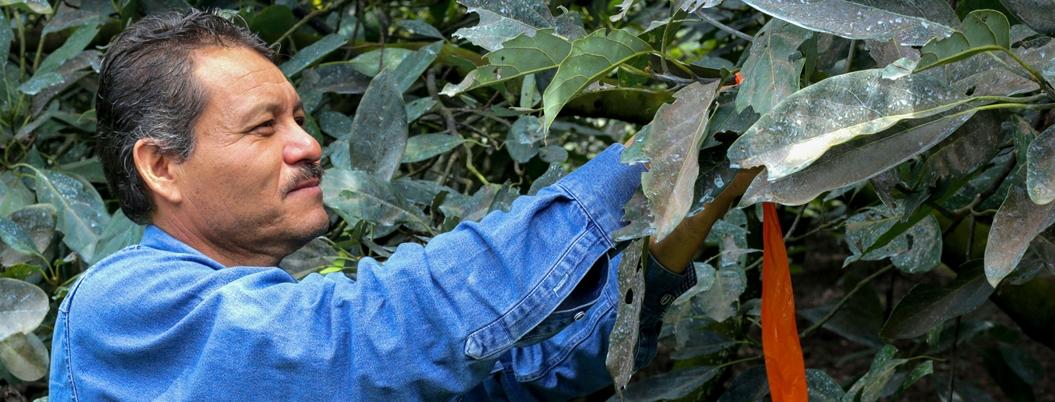 Sader declara a 3 municipios de Michoacán libres de plaga