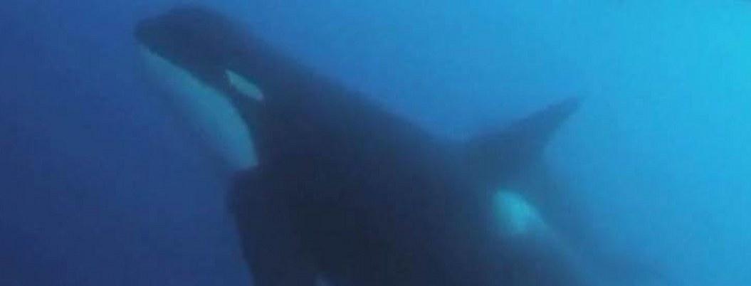 Zihuatanejo: orca asesina sorprende a un pescador deportivo