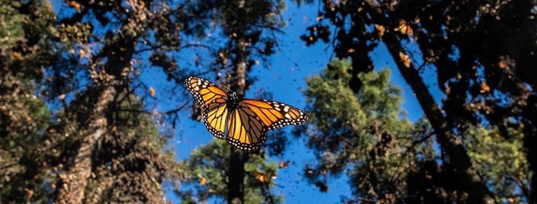 Ejidatarios piden llevar Sembrando Vida a santuario de mariposa