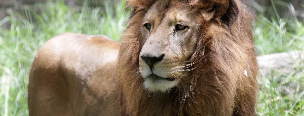 Cancelan clases en Valle de Bravo por un león suelto