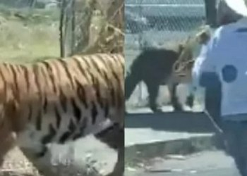 lanzan a tigre
