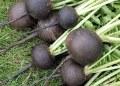 Crean producto a base de rábano negro para tratar cálculos biliares 10