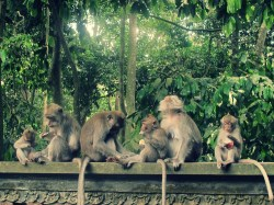 Monkeys at Alas Kedaton