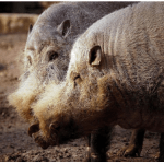 """Heritage pigs come in many shapes and sizes.  This is a """"Bearded Pig."""""""