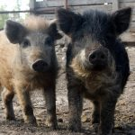 Valuable Pigs!