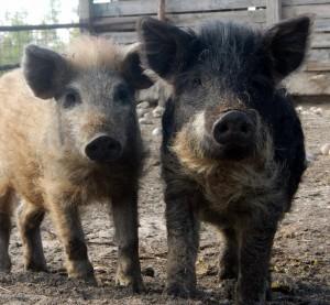 Baker hogs