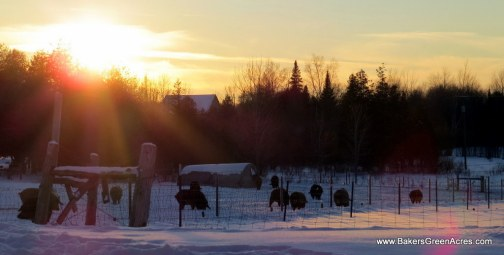 Baker's Green Acres Mangalitsa pigs enjoying a sunny winter evening.
