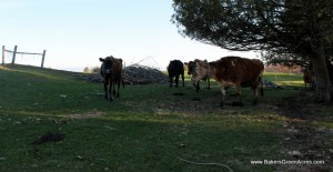 """The """"Jersey Girls"""" on pasture."""