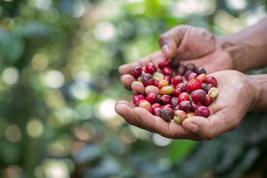 RG-Coffee-Berries-35 Meet the Farmers of Redeeming Grounds Baker Stories Projects Travel