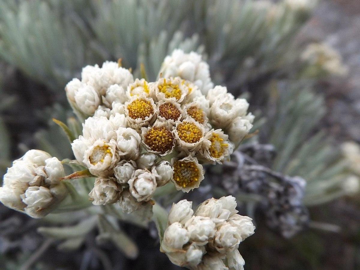 Bunga edelweis Bunga Abadi
