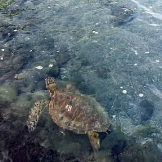 Sea turtles at Kahulu'u Beach Park