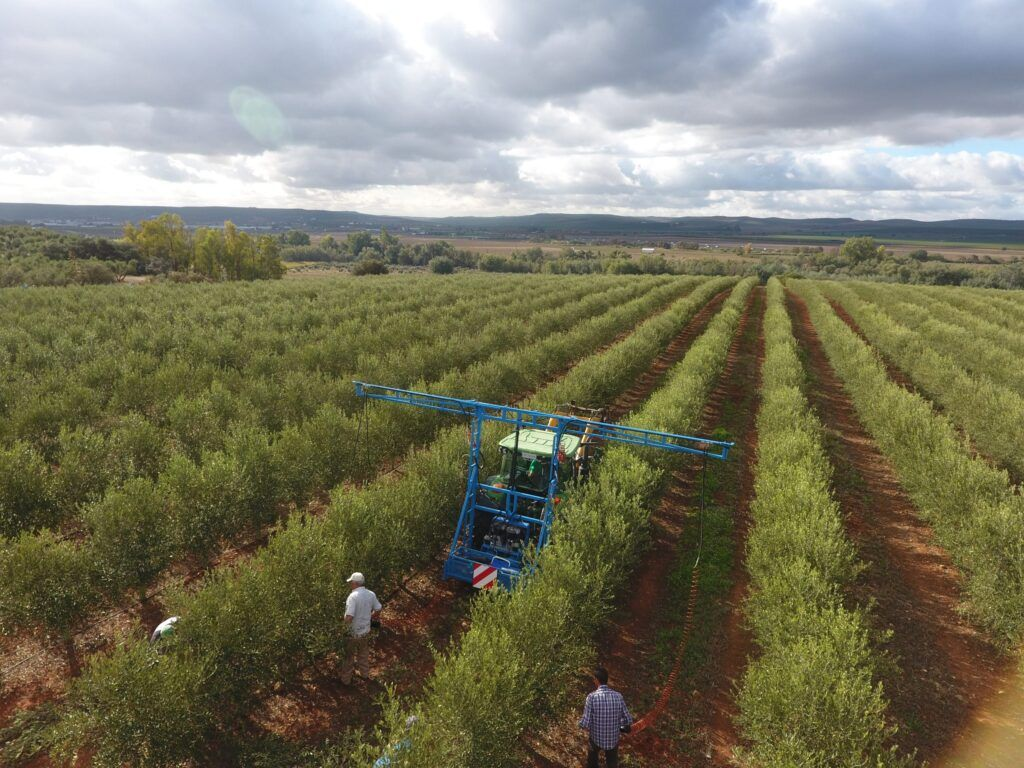 Poda manual olivar en seto