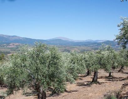 manzanilla cacereña olivo