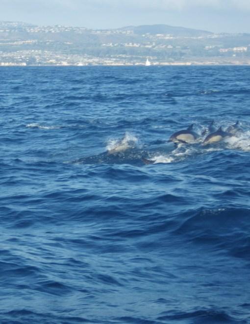 Dolphin Watching a big pod