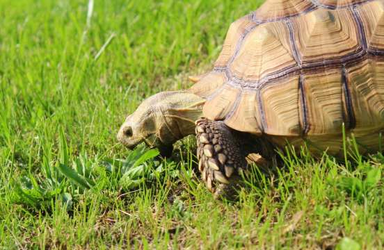 Olga the little cow tortoise
