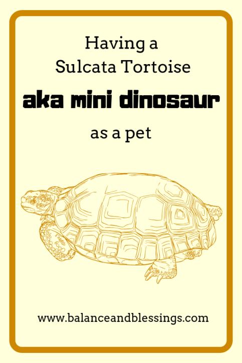Having a Sulcata Tortoise aka mini dinosaur