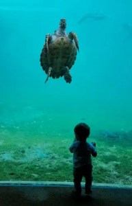 An image shows a young boy up against the glass at an aquarium where a sea turtle is swimming in the water. This picture represents the idea of evolutionary shortcomings in Balanced Achievement's article on natural selection and life-satisfaction.